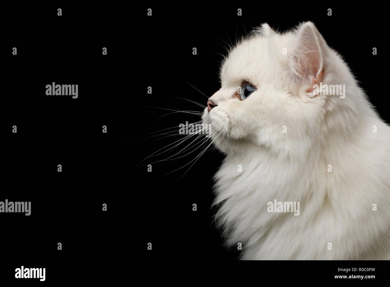 Retrato de raza británica Cat color blanco con ojos azules, mirada fija en el lateral sobre fondo negro, aislados en la vista de perfil Imagen De Stock