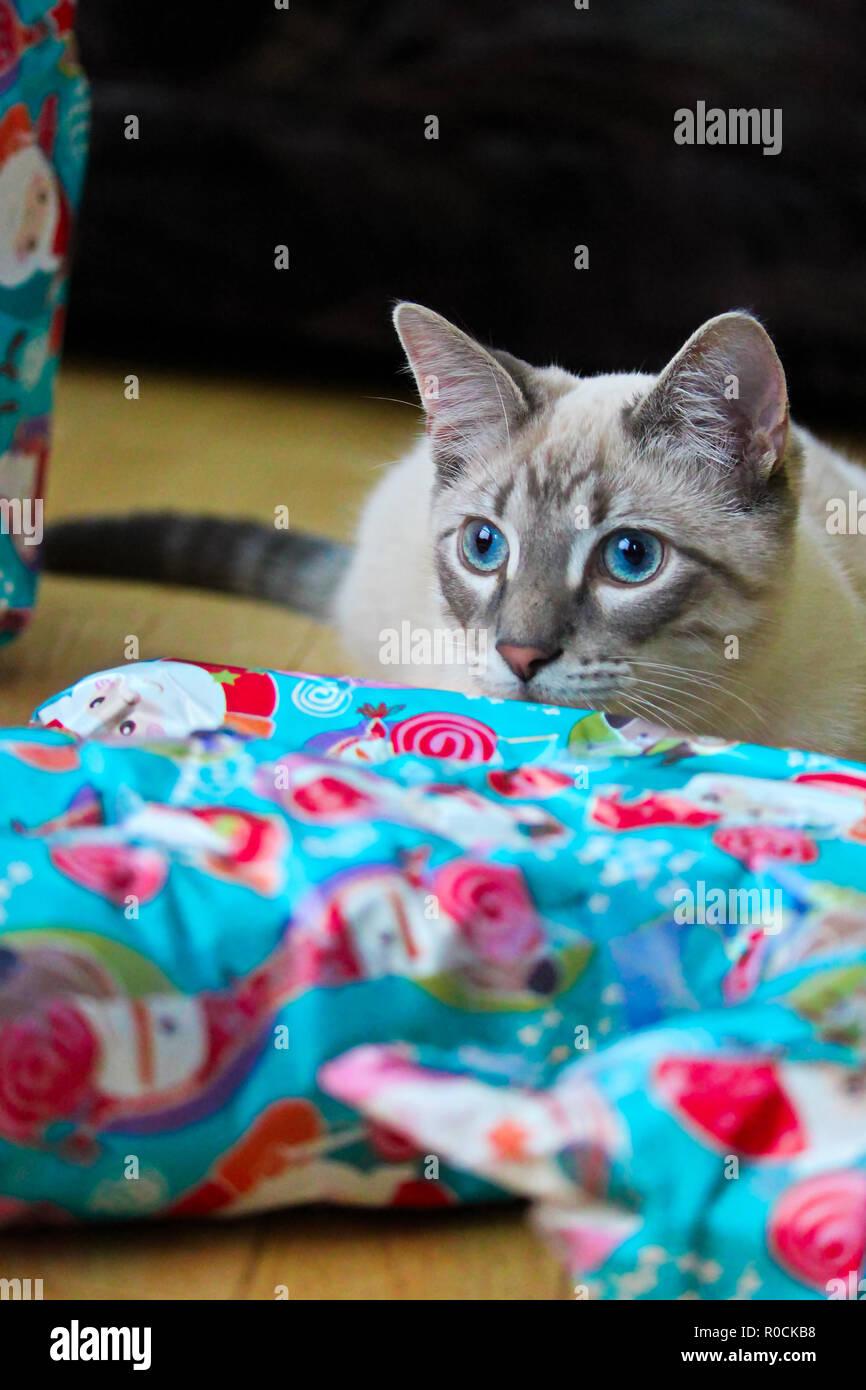 Un gatos los ojos azules vibrantes coinciden con papel de regalo de navidad Imagen De Stock