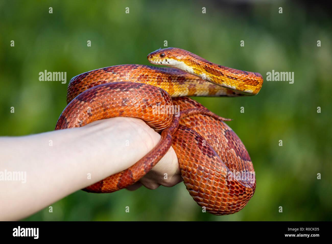 Maíz serpiente enrollada alrededor de propietarios mano contra fondo verde Foto de stock
