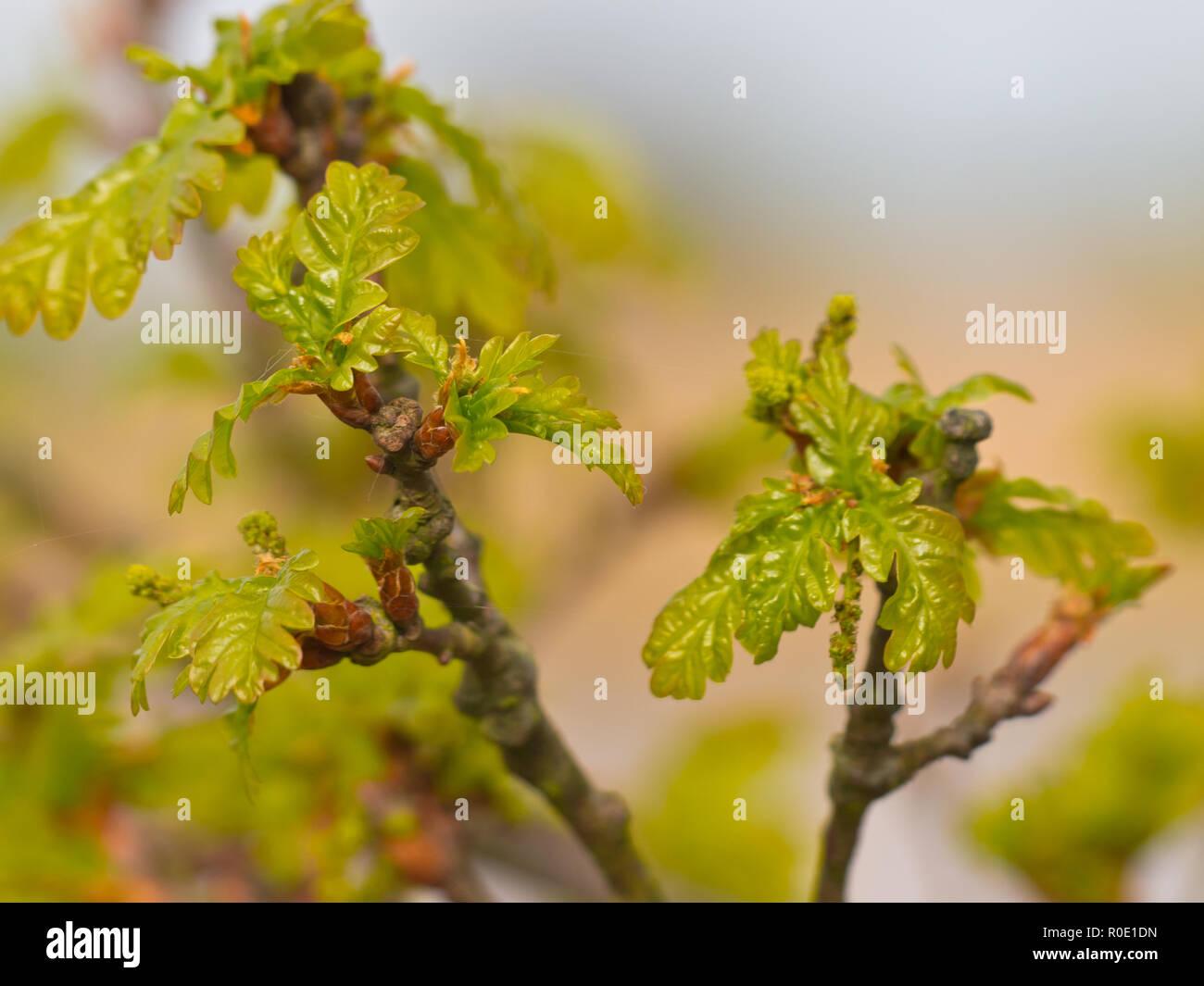 De uitlopende versículo bladeren van een eik in de lente Imagen De Stock