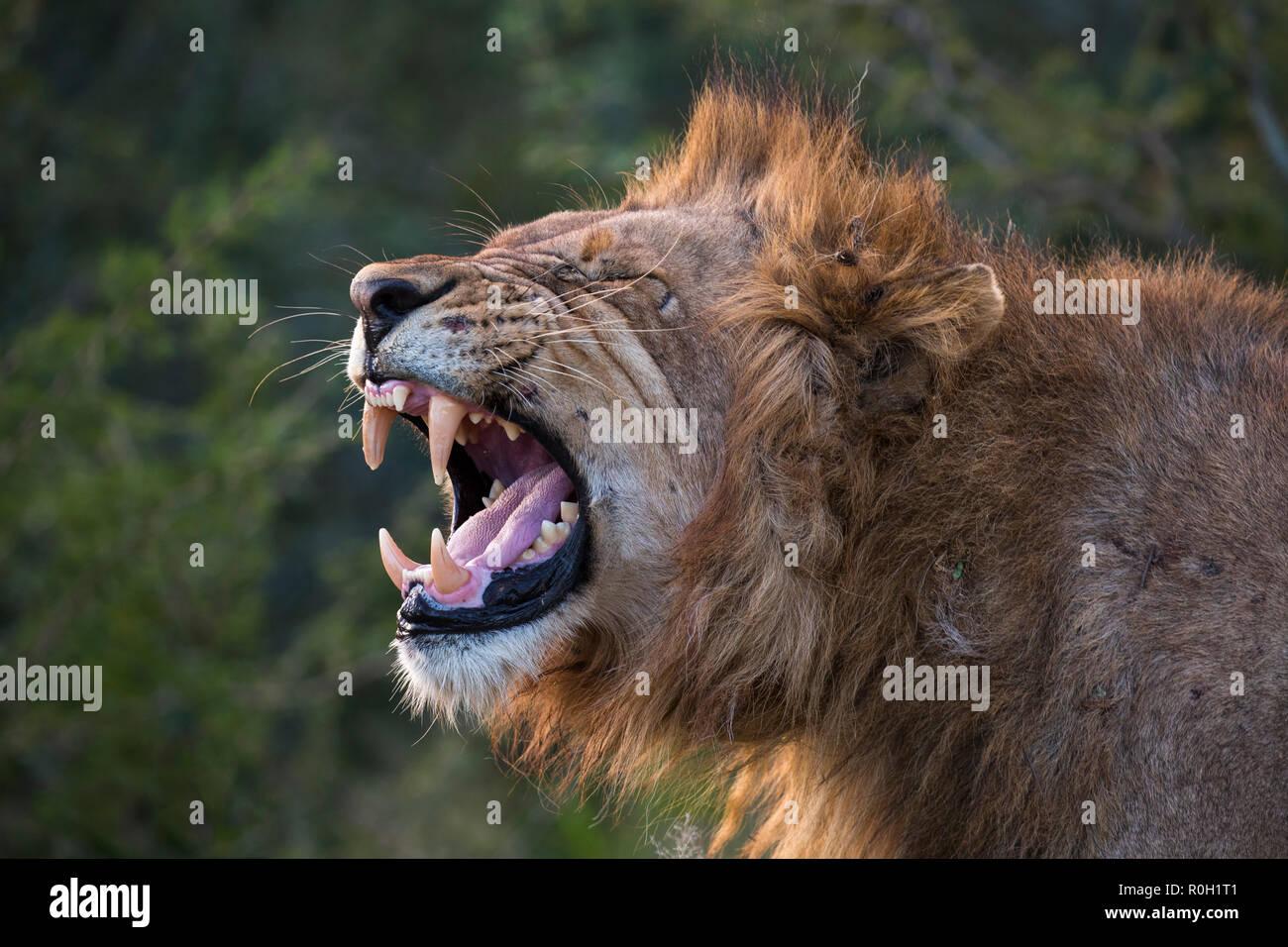 León (Panthera leo) mostrando flehmen mueca, Zimanga Private Game Reserve, KwaZulu-Natal, Sudáfrica, junio de 2018 Imagen De Stock