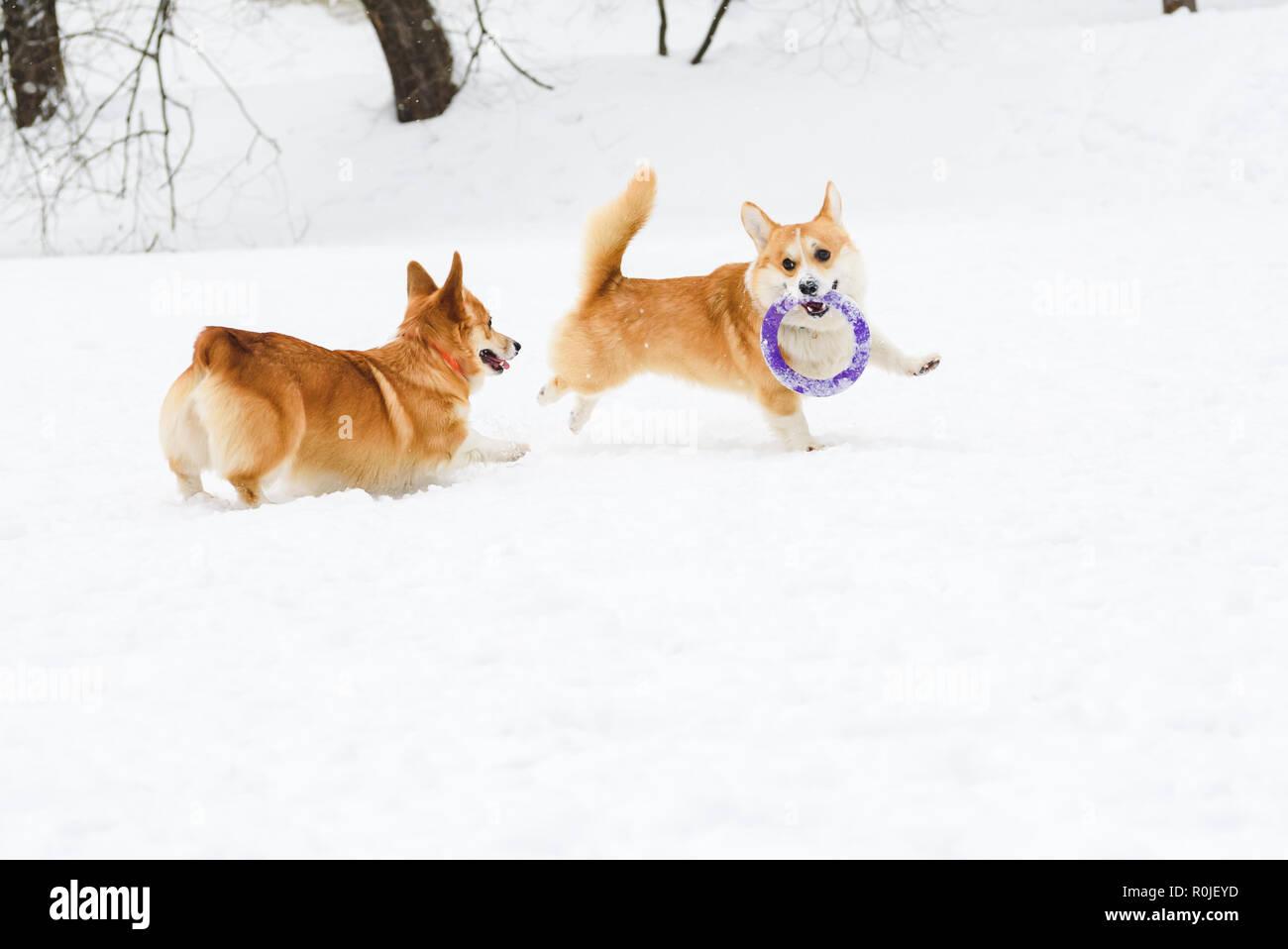 Dos corgis galés divertido jugar en la nieve con el extractor toy Foto de stock
