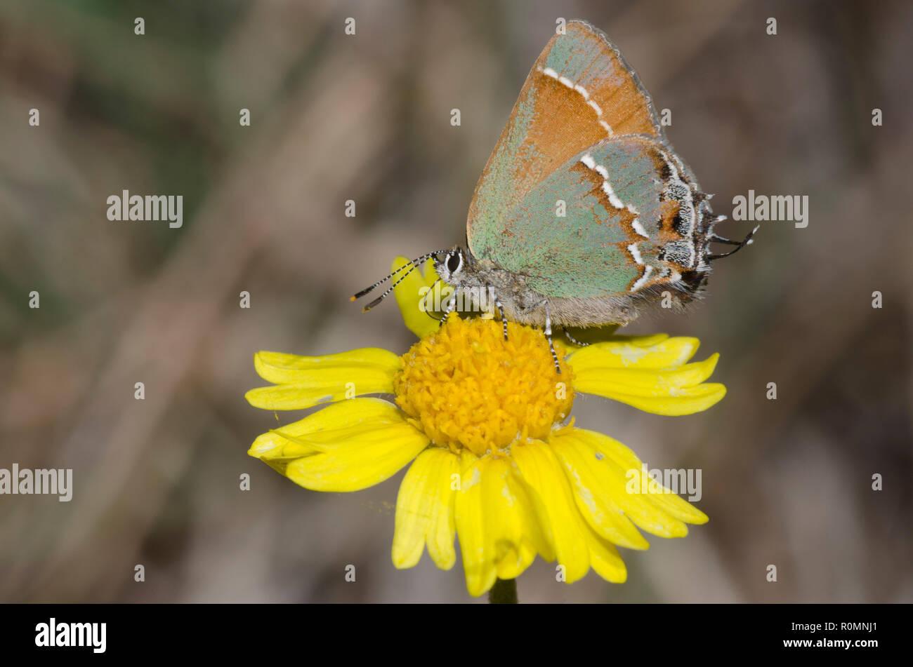 Juniper, Callophrys Hairstreak nectaring gryneus, sobre tallos de cuatro-nervio, Daisy Tetraneuris scaposa Foto de stock