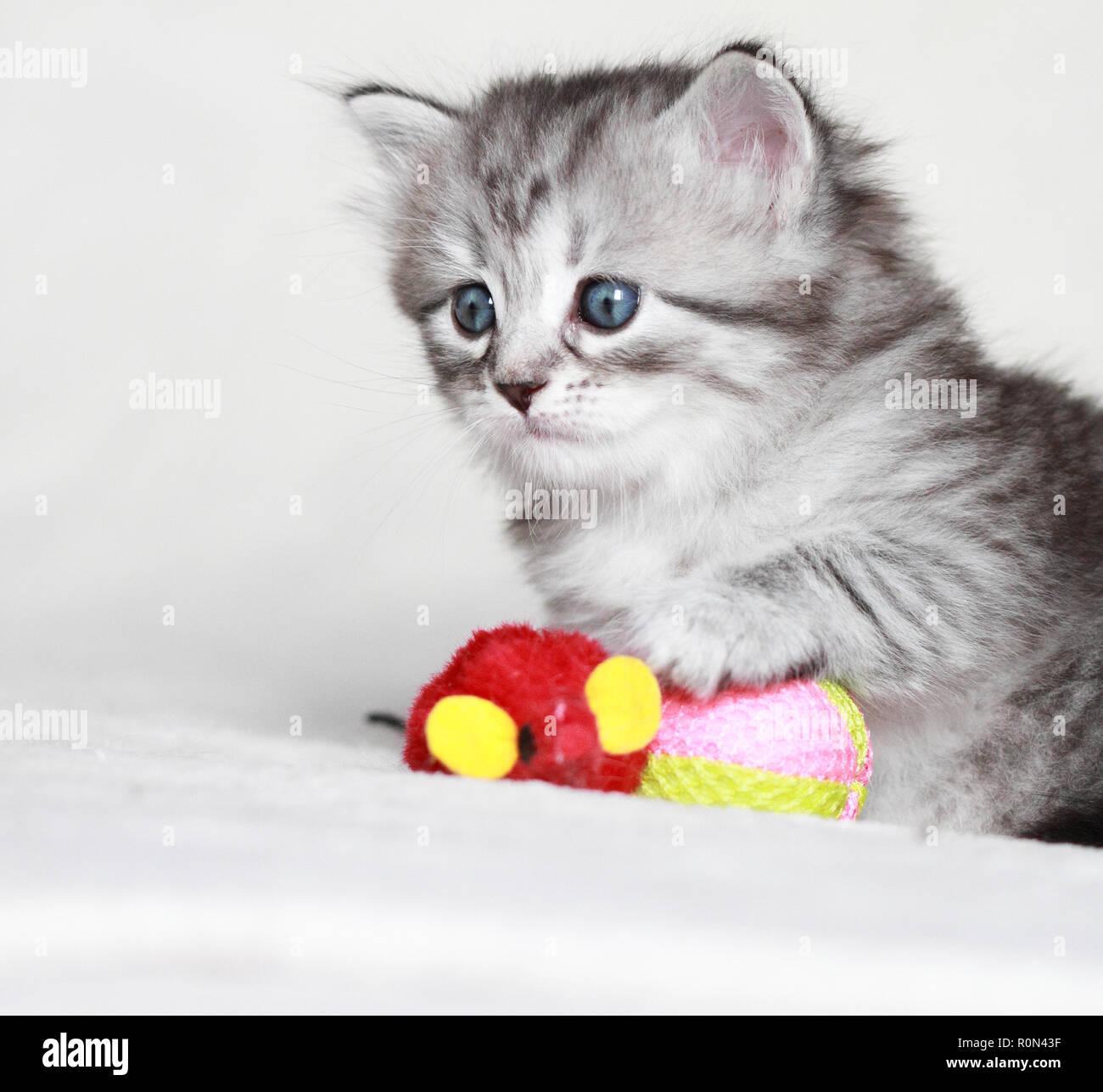 Cachorro adorable gato jugando en horario de invierno Imagen De Stock