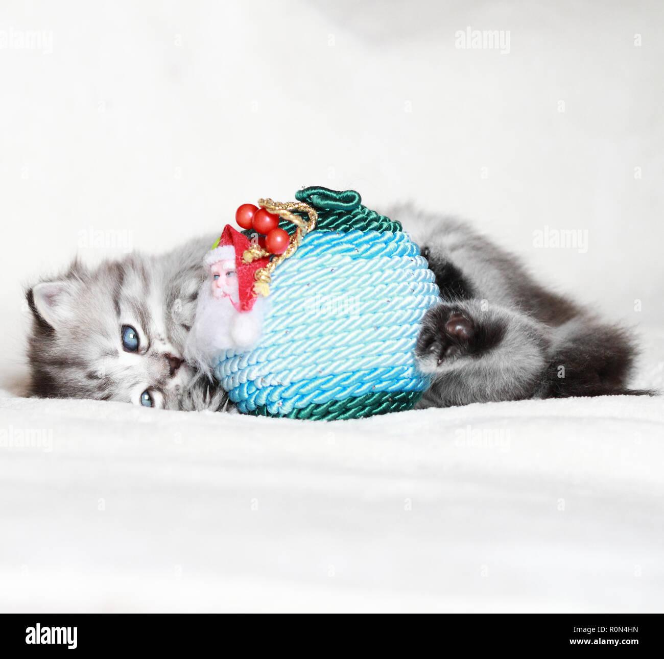 Tierno cachorro de gato en el tiempo de Navidad, jugando con decoración Imagen De Stock