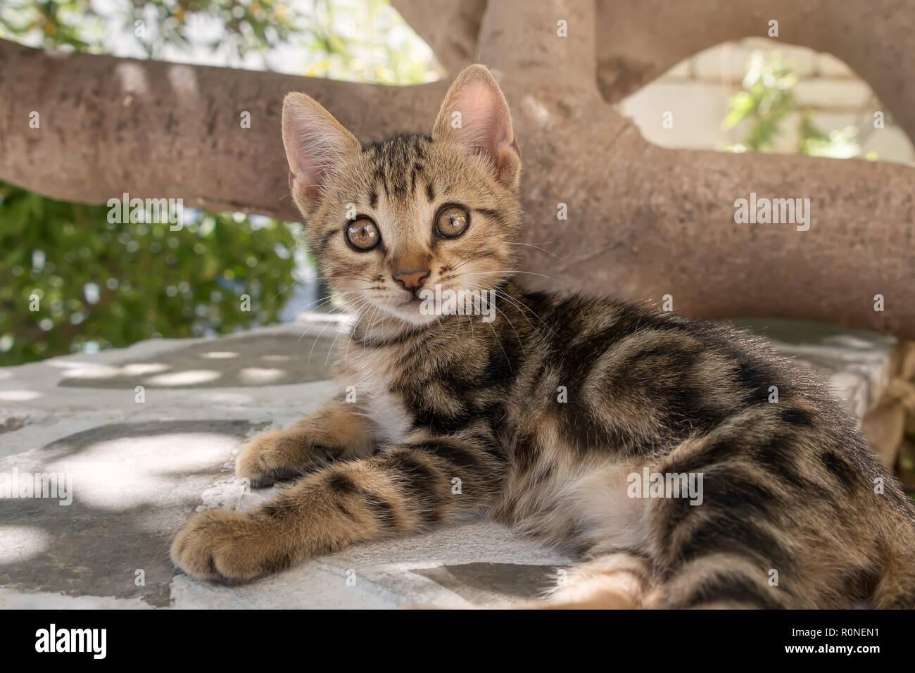 Bebé lindo gatito, classic brown tabby, apoyada en una pared, mirando con ojos muy abiertos, isla del Egeo, Grecia, Europa Foto de stock