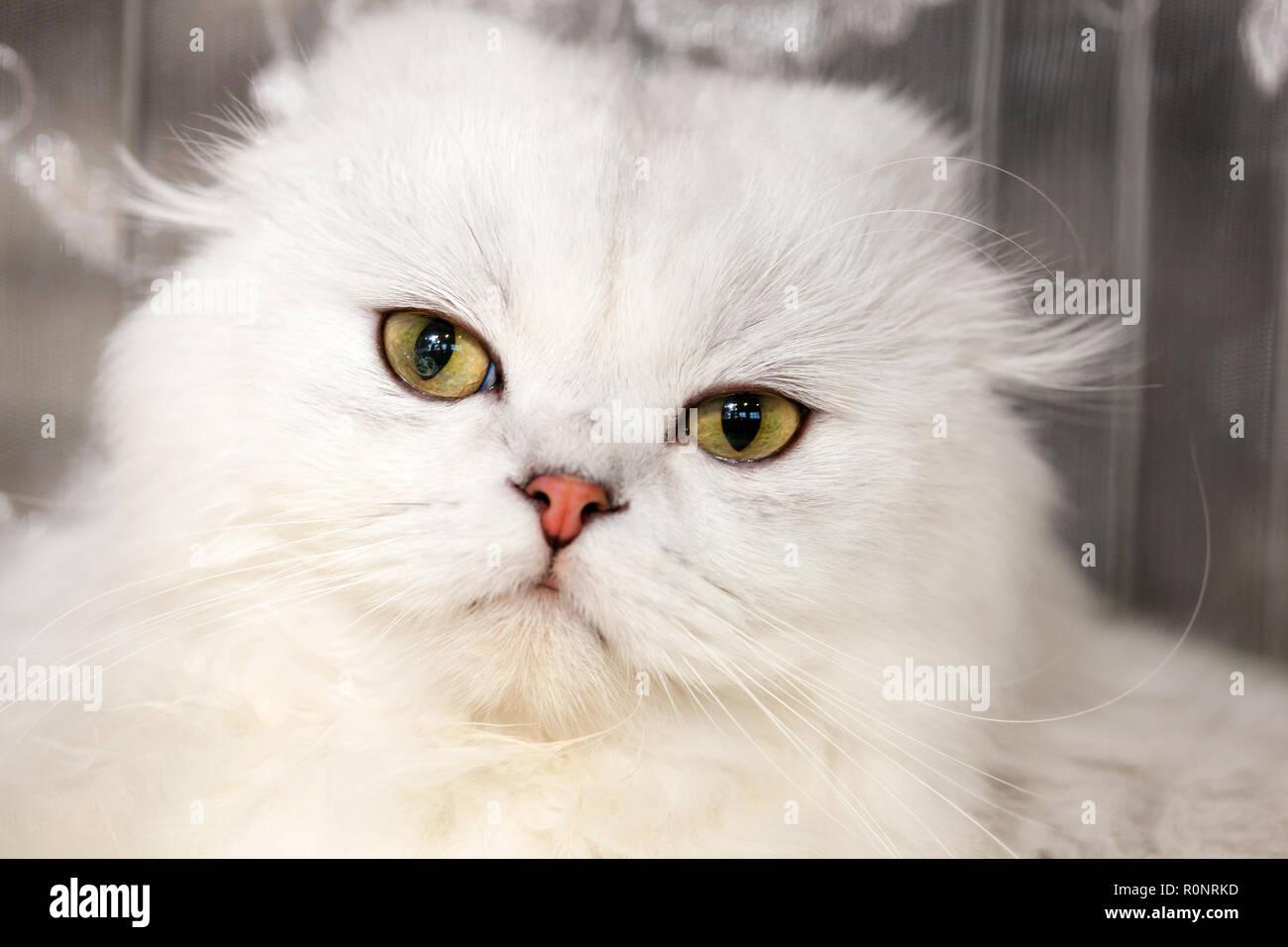Retrato de un bosque de Noruega gato de color blanco. Imagen De Stock