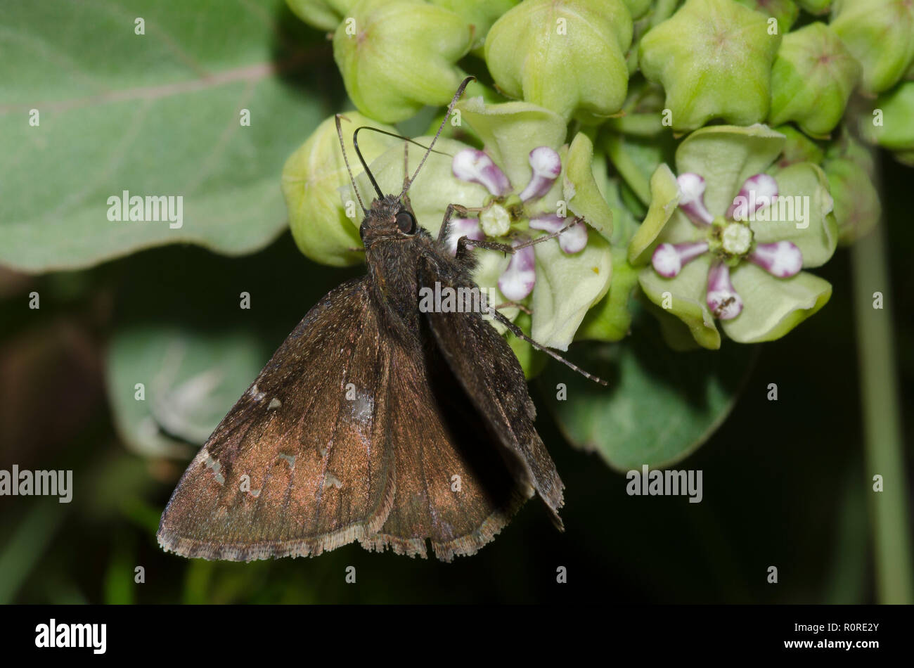 Norte, Thorybes pylades Cloudywing femeninos en verde, Asclepias asclepias viridis Foto de stock