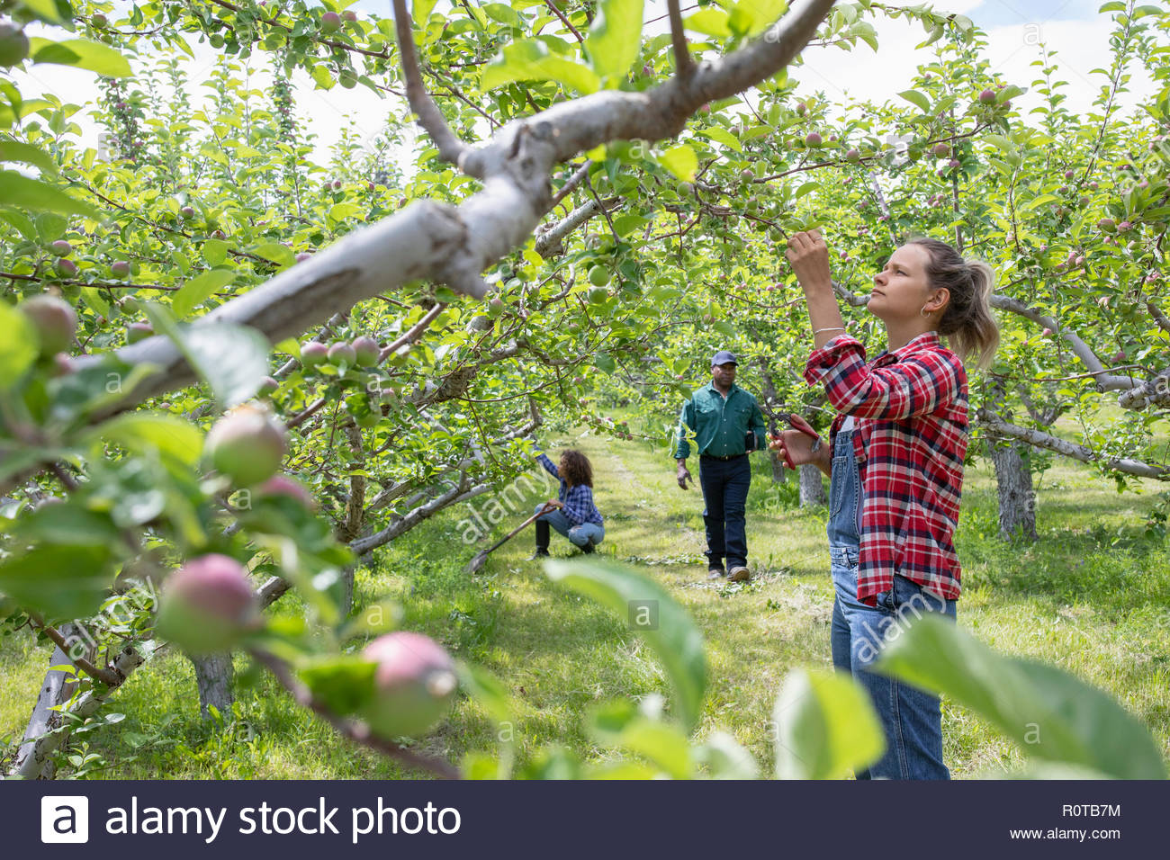 La agricultora comprobando los manzanos en huerto Imagen De Stock