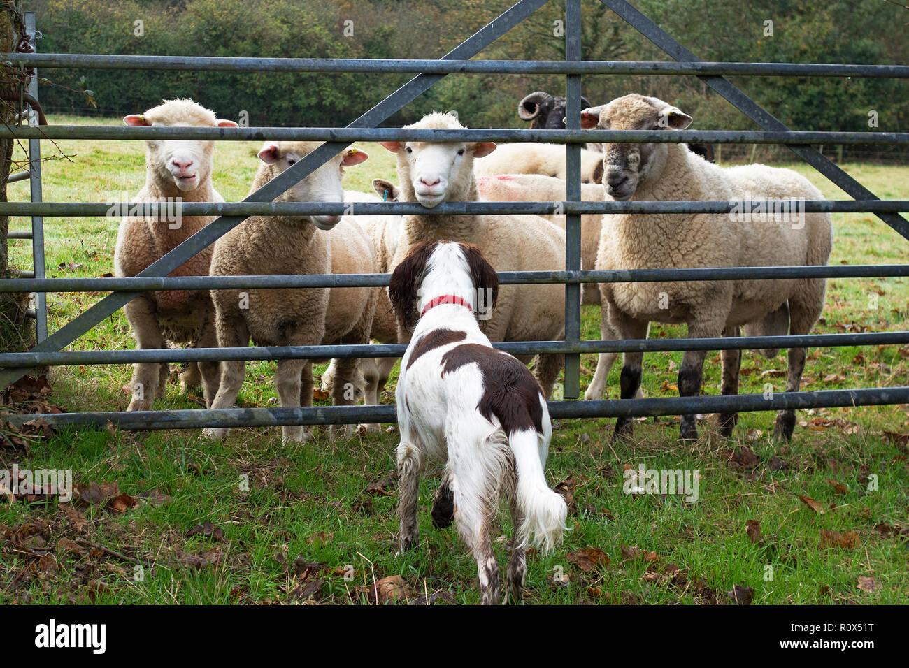 Springer Spaniel, ovejas ganadería granja puerta de campo Imagen De Stock