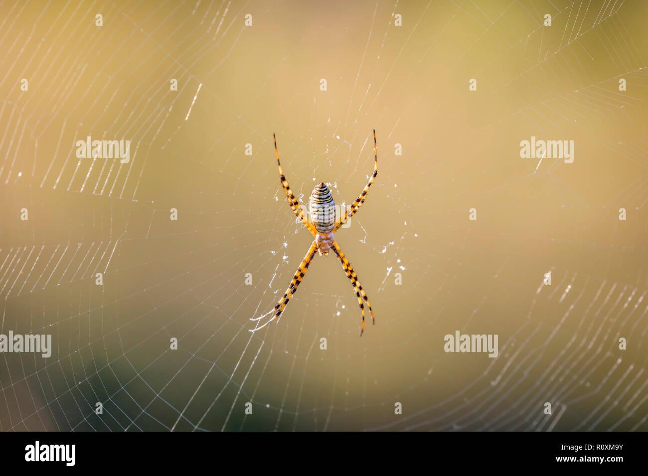 Cerca de la araña de tela de araña Foto de stock