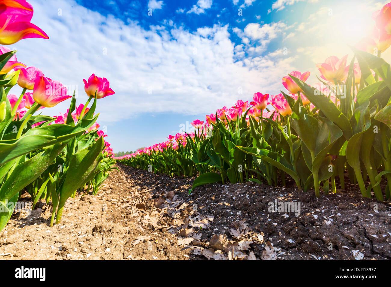 196843ba68ef Primer plano de las filas rosa tulipanes holandeses en un campo de flores  durante la primavera en un día soleado con el cielo azul
