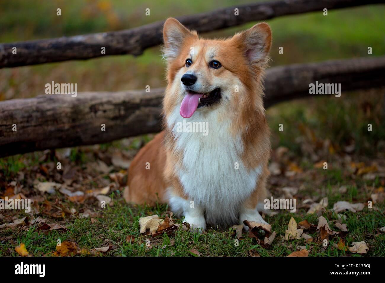Hermosa corgi fluffy retrato en el otoño al aire libre. Foto de stock