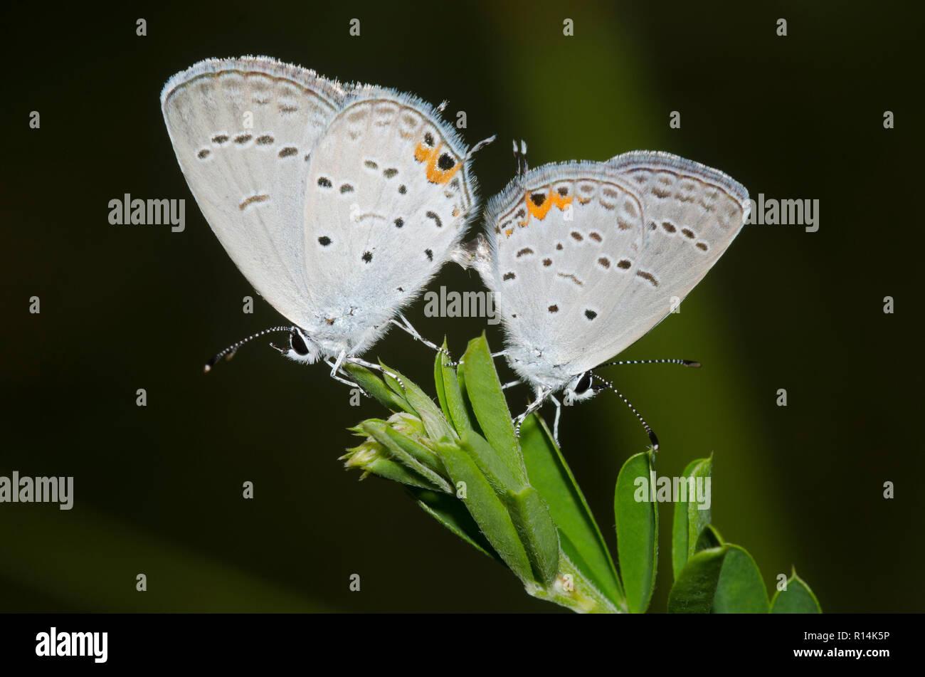 Oriental, Cupido comyntas Tailed-Blues, acoplamiento Foto de stock