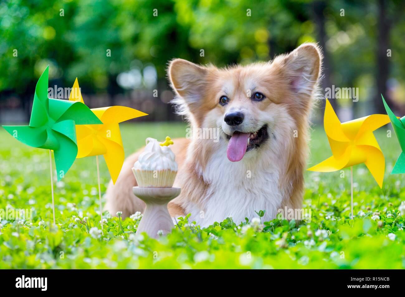 Cumpleaños fuera hermosa corgi fluffy sobre césped verde y colorida fiesta de banderas en el fondo Foto de stock