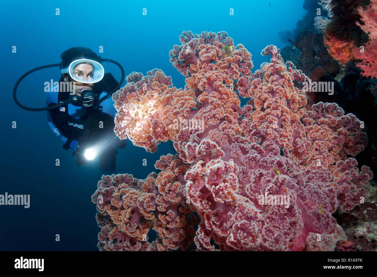 Buzo con lámpara grande vistos coral blando (Dendronephthya mucronata), rojo, la Gran Barrera de Coral, el Pacífico, Australia Imagen De Stock