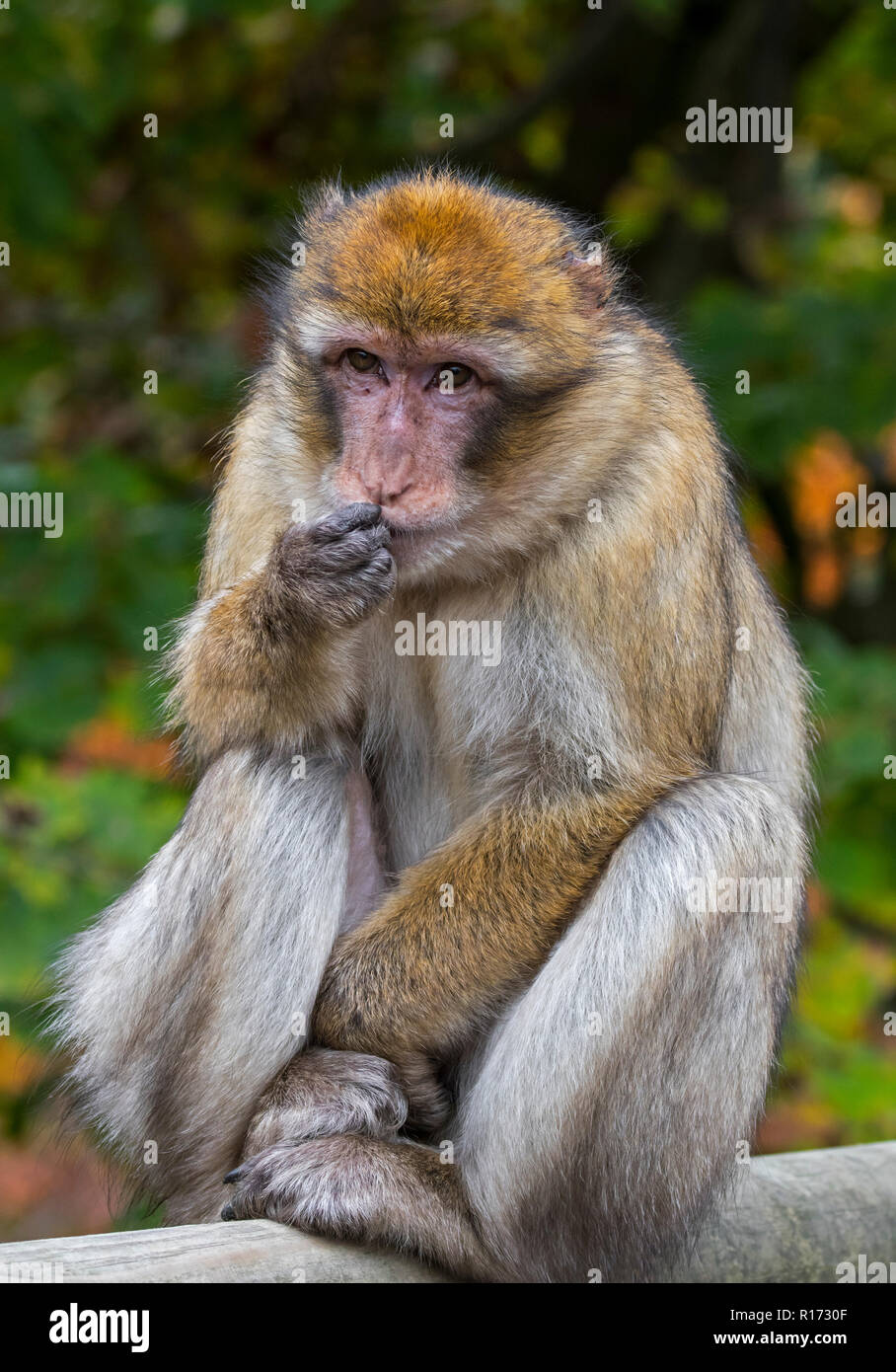 / Macaco de Berbería simios Barbary / magot (Macaca sylvanus) nativas de las montañas del Atlas de Argelia, Marruecos y Gibraltar. Imagen De Stock