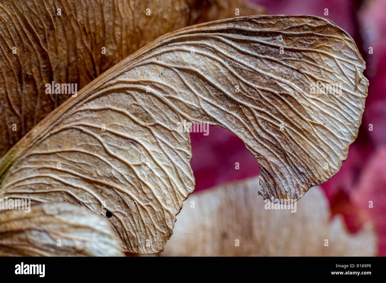 Macro de cerca, la luz de flash de estudio de imagen, de una semilla de arce en seco, otoño de sentimientos. Ala detallada estructura con nervios natural impresionante, selectiva focu Foto de stock