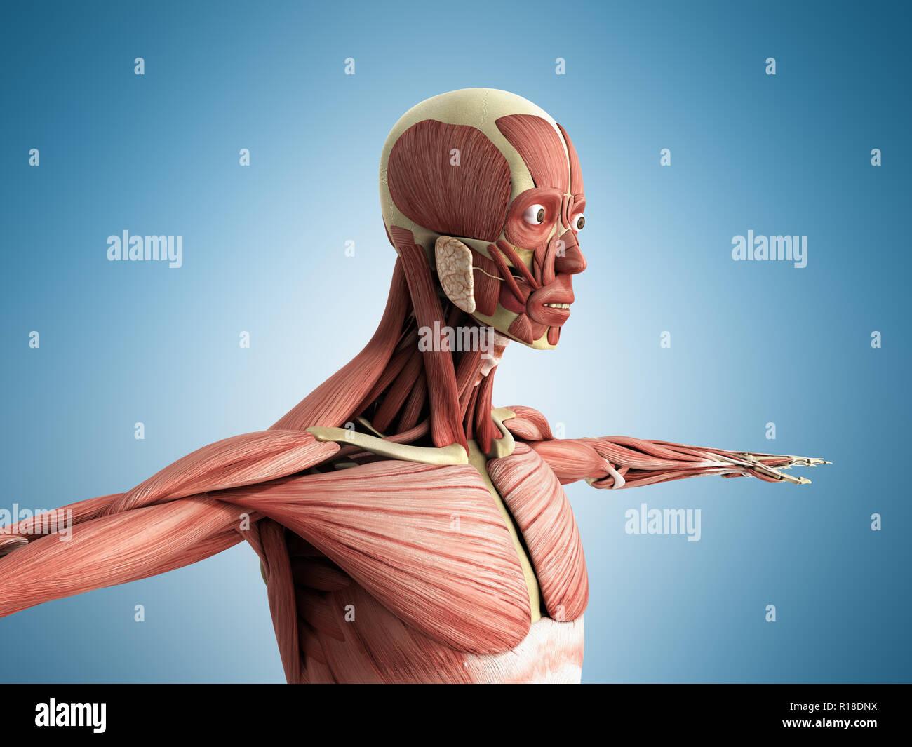 El músculo humano Anatomía 3D Render sobre azul Imagen De Stock