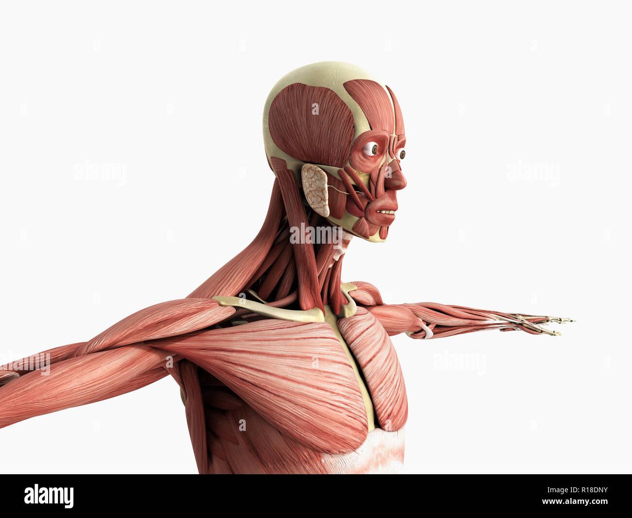 El músculo humano Anatomía 3D Render en blanco Imagen De Stock