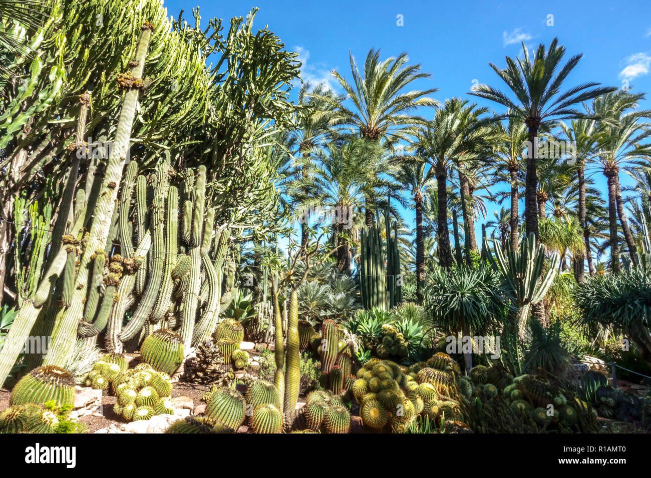 España Elche El Jardín Botánico El Huerto Del Cura La Palmera De La Provincia De Alicante Comunidad Valenciana Fotografía De Stock Alamy