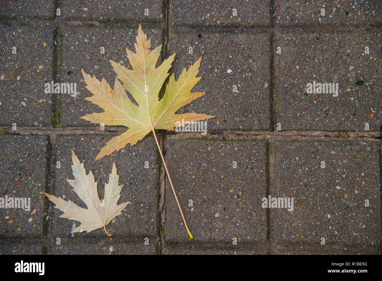 Dos hojas húmedas sobre pavimento. Imagen De Stock