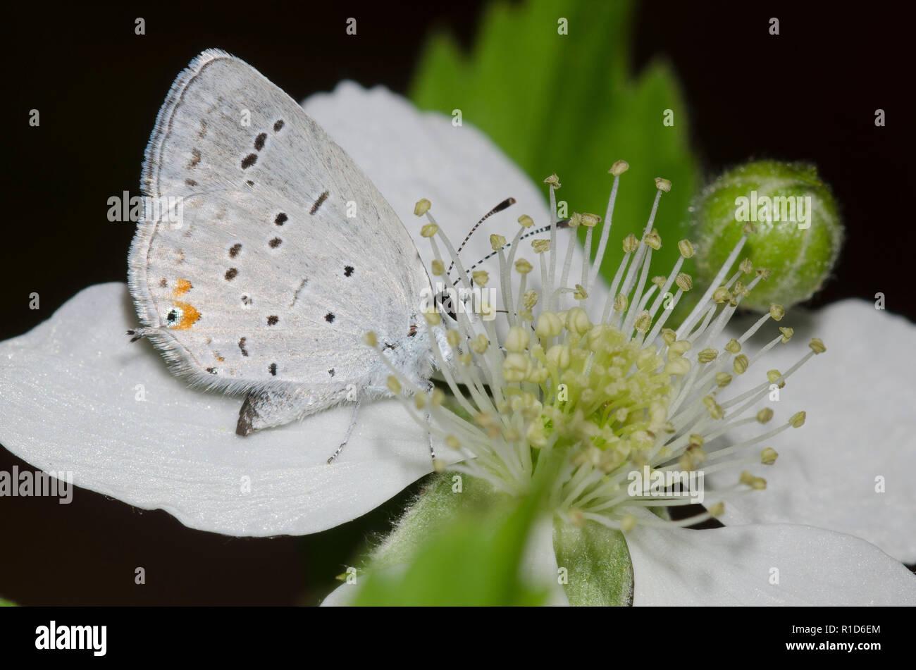 Oriental comyntas Tailed-Blue, Cupido, en blackberry, Rubus sp., blossom Foto de stock