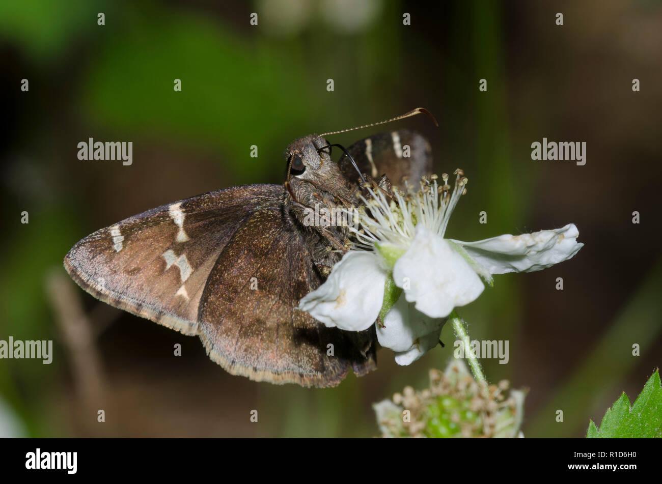 Sur, Thorybes Cloudywing bathyllus, en blackberry, Rubus sp., blossom Foto de stock