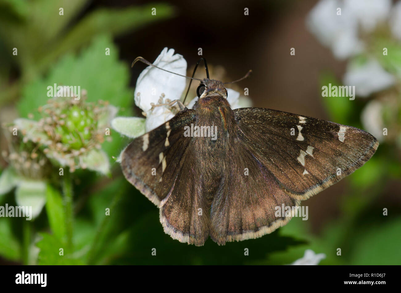 Sur, Thorybes Cloudywing bathyllus, en blackberry, Rubus sp., blossom Foto de stock