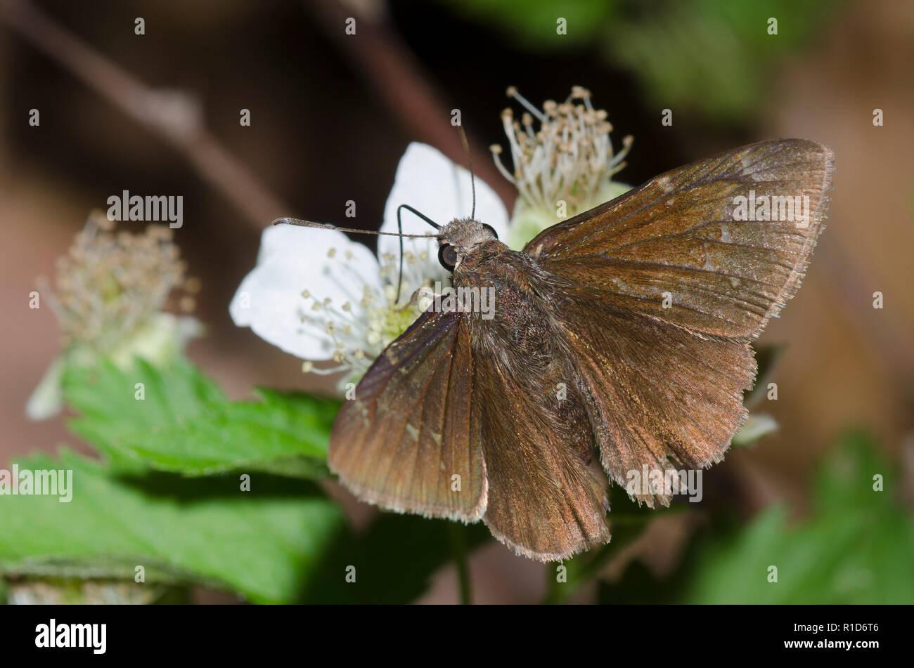 Norte, Thorybes pylades Cloudywing, macho en blackberry, Rubus sp., blossom Foto de stock