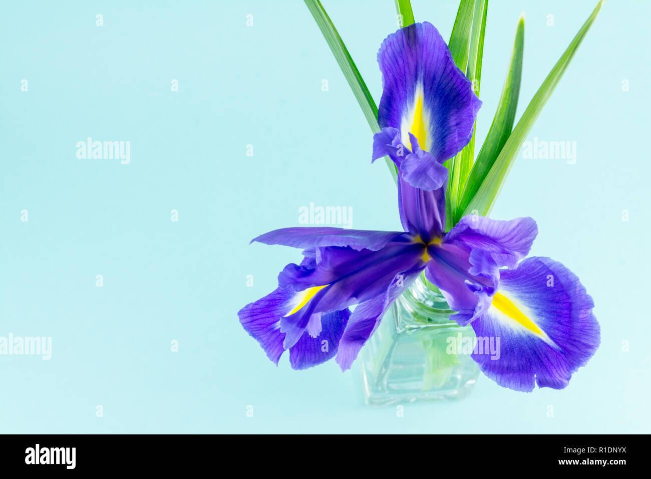 Flores Azul Purpura Iris Con Hojas En Un Vaso De Vidrio Sobre Fondo
