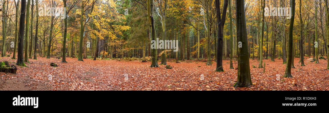 Woodland panorámica en otoño, con hojas de color dorado. Playa de árboles en un bosque denso. Foto de stock