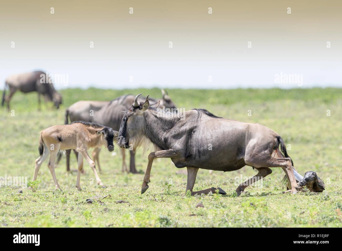 El ñu azul (Connochaetes taurinus) standin hasta después de dar a luz a un ternero, el área de conservación de Ngorongoro, Tanzania. Foto de stock