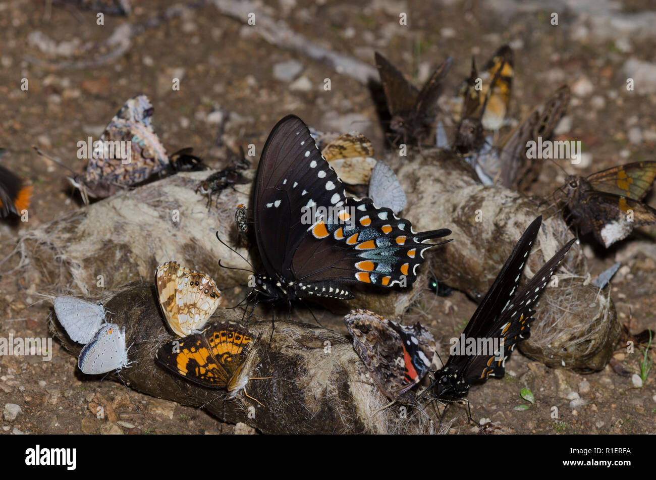 Ocho especies de mariposas en coyote scat Foto de stock