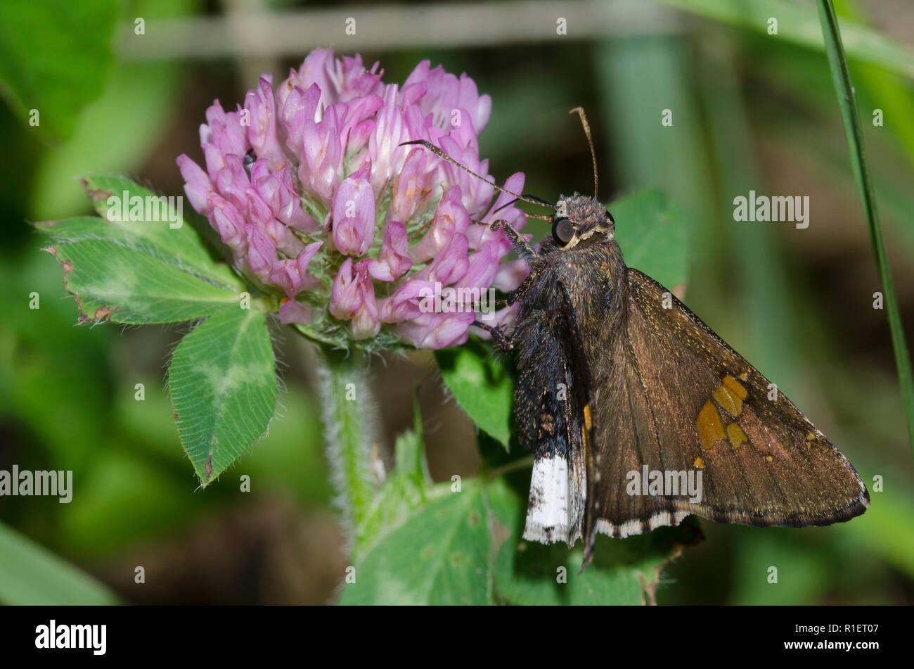 Borde canosos, Achalarus lyciades, trébol rojo, Trifolium pratense Foto de stock