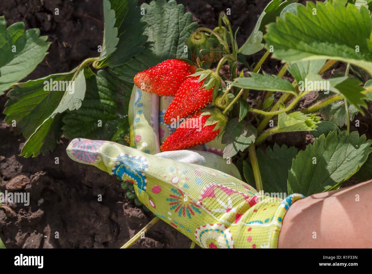 En Las Mano Fresas Está Jardinero Maduras Celebrando Femenino 8wN0mn