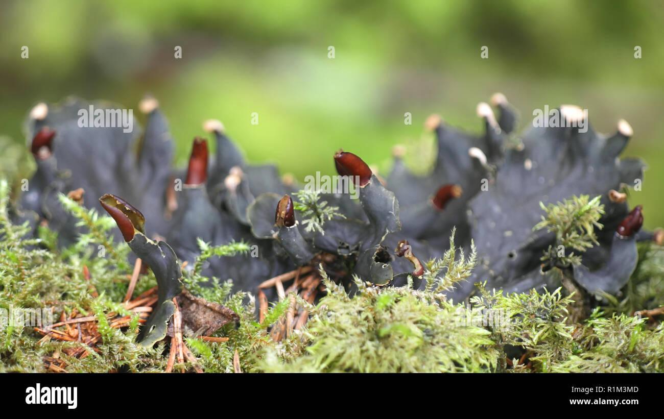 Piel escamosa, liquen Peltigera praetextata Imagen De Stock