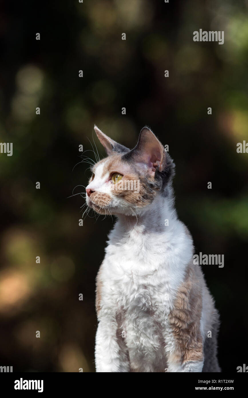 Devon rex gato en un registro de caídos en el bosque Imagen De Stock
