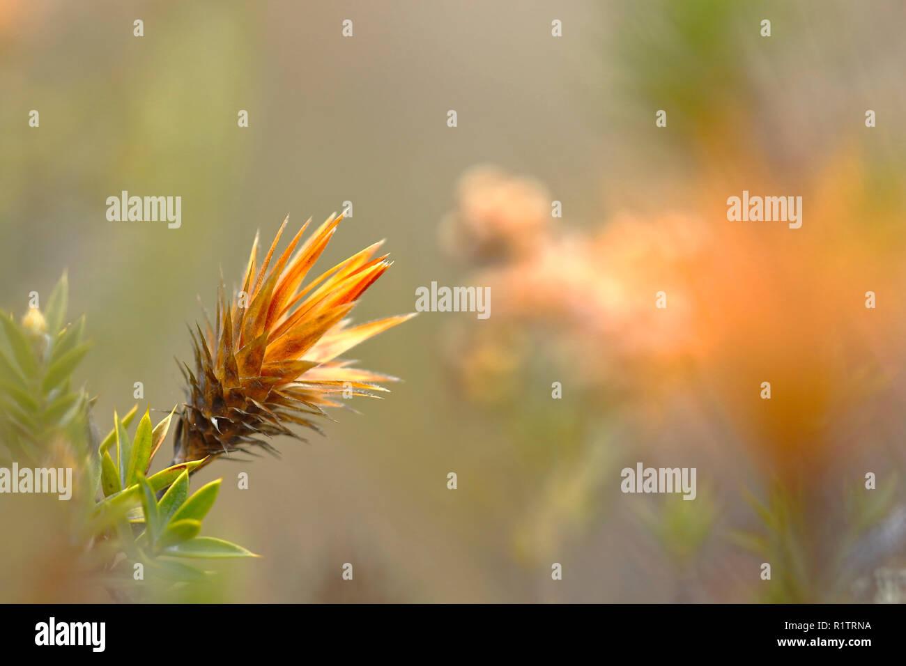 Precioso detalle en su ambiente natural de una flor llamada Andina Huamanpinta (Chuquiraga spinosa), que se encuentra en peligro de extinción. Imagen De Stock