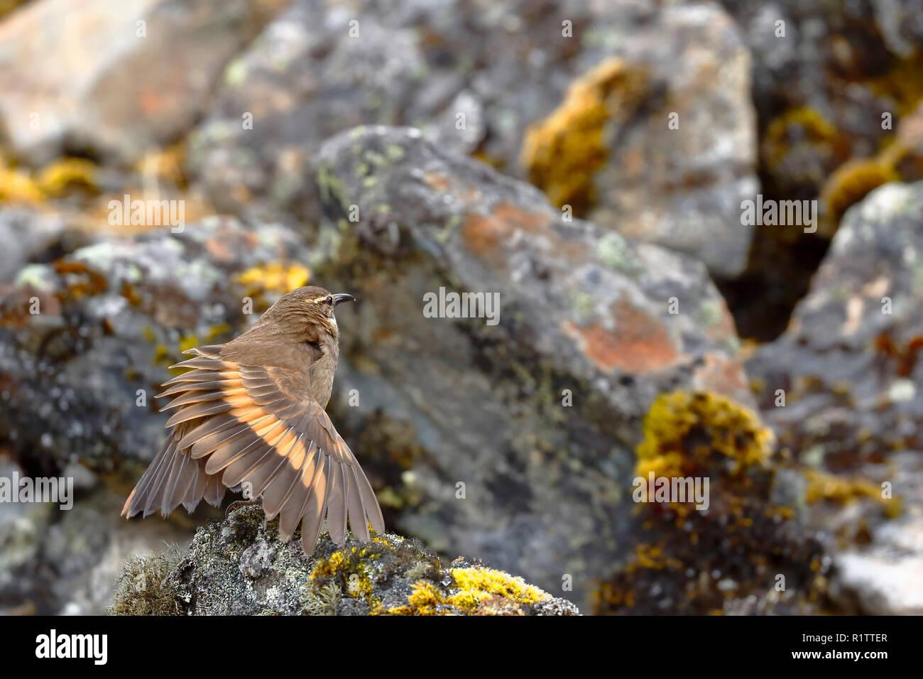 Hermoso ejemplar de Royal cinclodes (Cinclodes aricomae) que está en peligro crítico de extinción, encaramado sobre una roca, estirar sus alas en su NAT Imagen De Stock