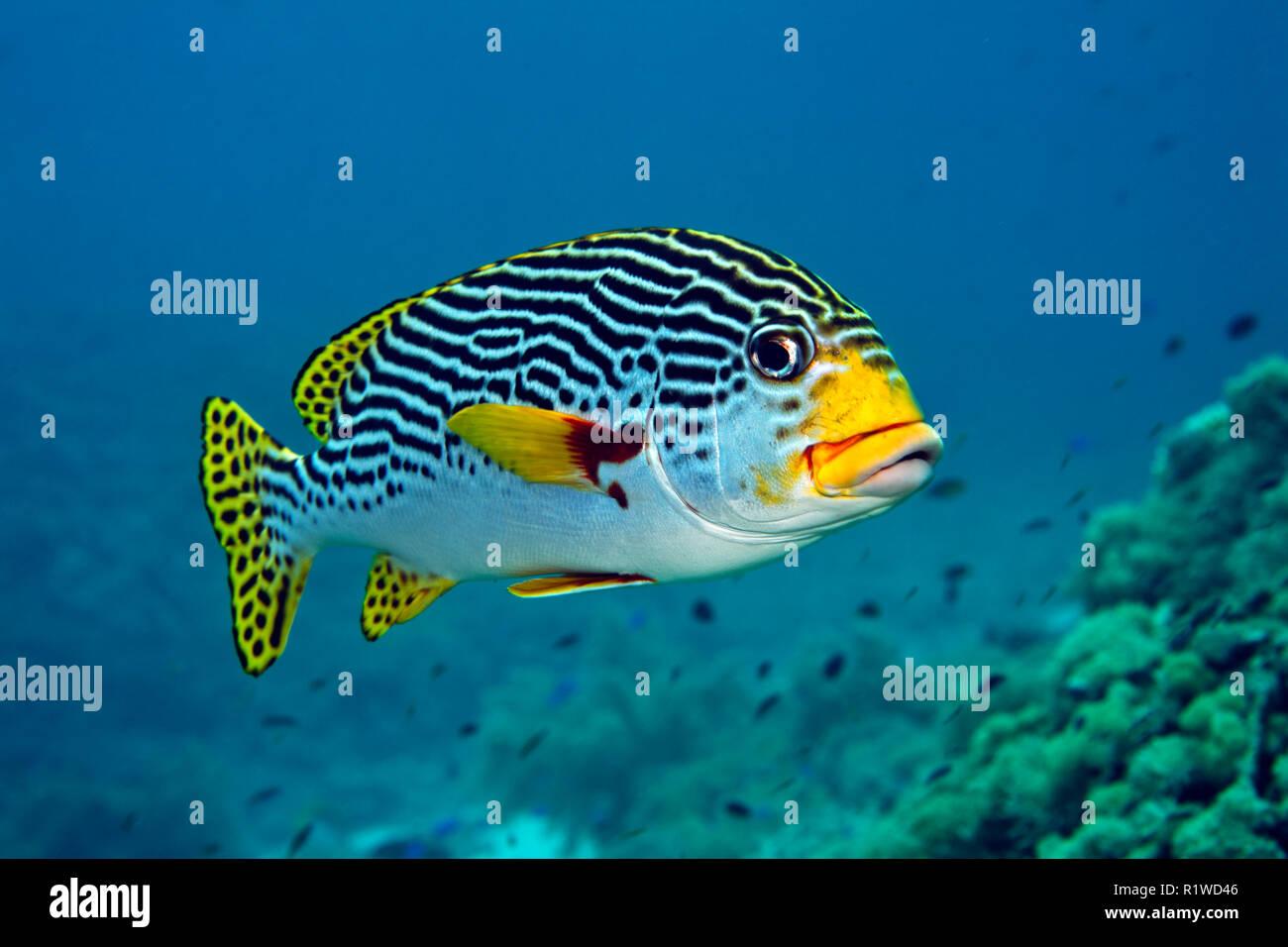 Bandas diagonales (Sweetlip Plectorhinchus lineatus), nadar en el arrecife, Sulawesi, Selayar, Pacífico, Indonesia Imagen De Stock
