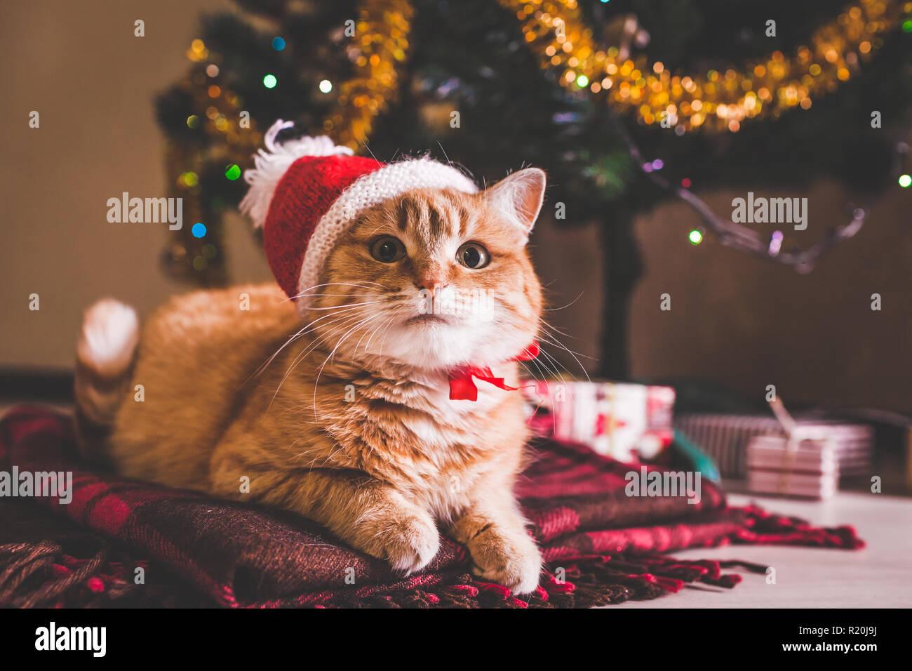 Gato rojo viste gorro de Santa Claus tumbado bajo el árbol de Navidad. Navidad y Año Nuevo concepto Imagen De Stock