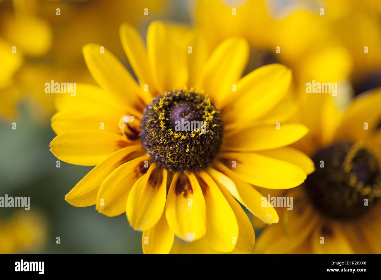 Hermosa Flor Amarilla con fondo difuminado cerrar Foto de stock