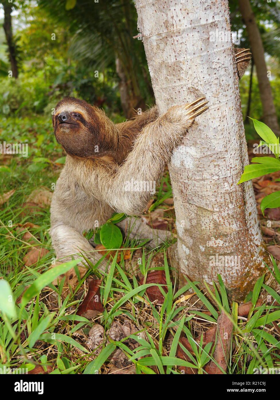 Tres vetado perezoso en la tierra comienza a trepar a un árbol, Panamá, América Central Foto de stock