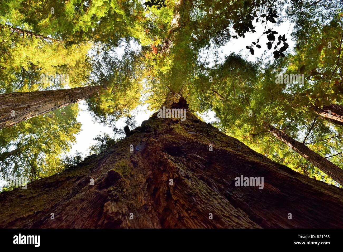 Mirando hacia arriba en el bosque Redwood Foto de stock