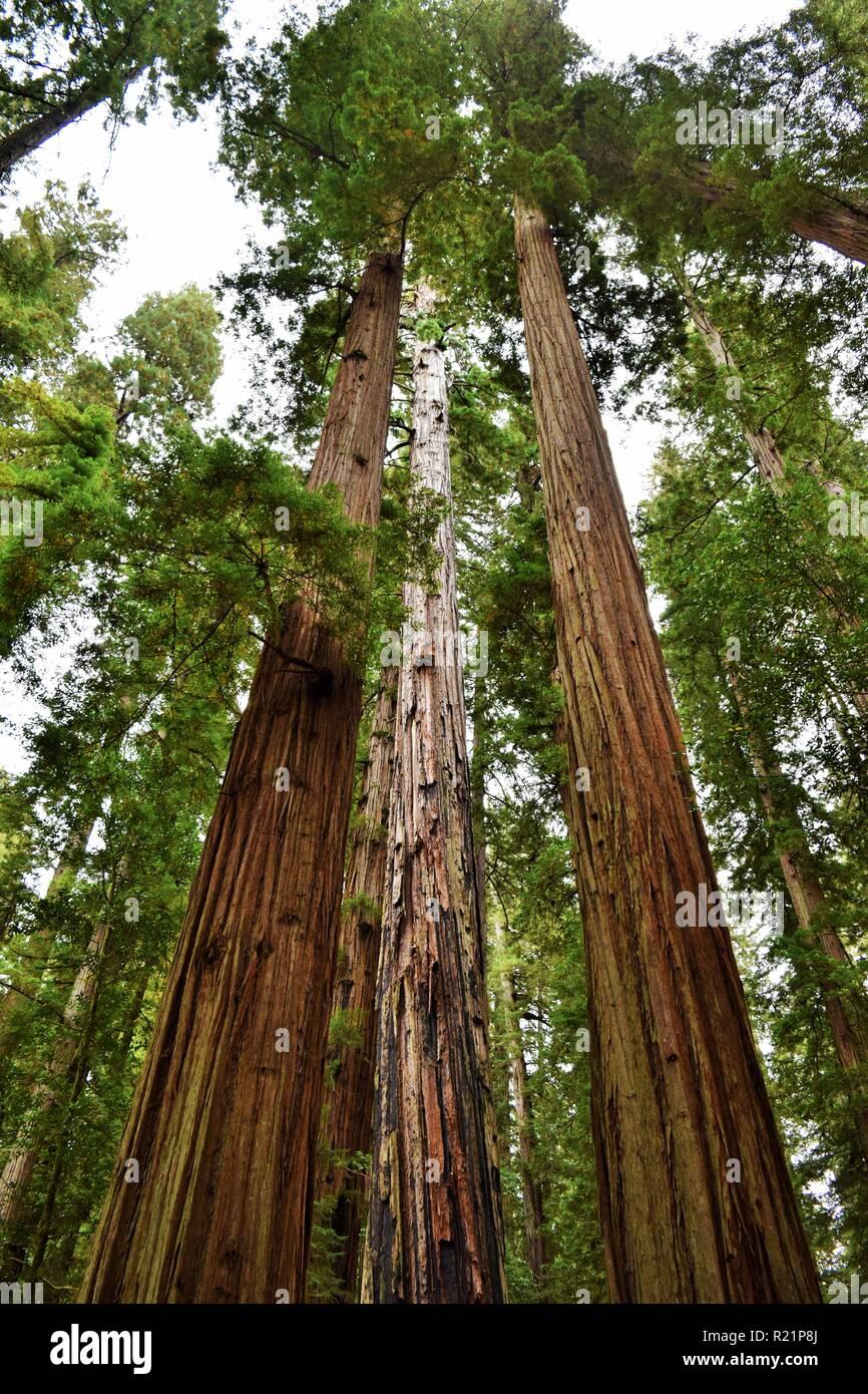 Redwood árboles en el Parque Estatal de Jedediah Smith Redwoods Foto de stock