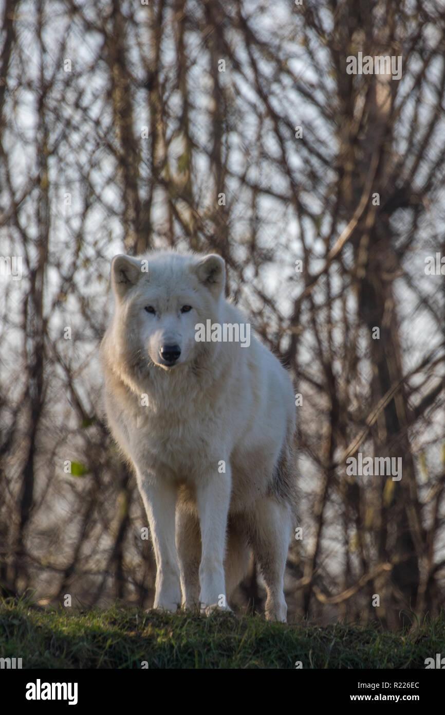 Lobo ártico (Canis lupus arctos), también conocido como el lobo blanco o lobo polar, Imagen De Stock
