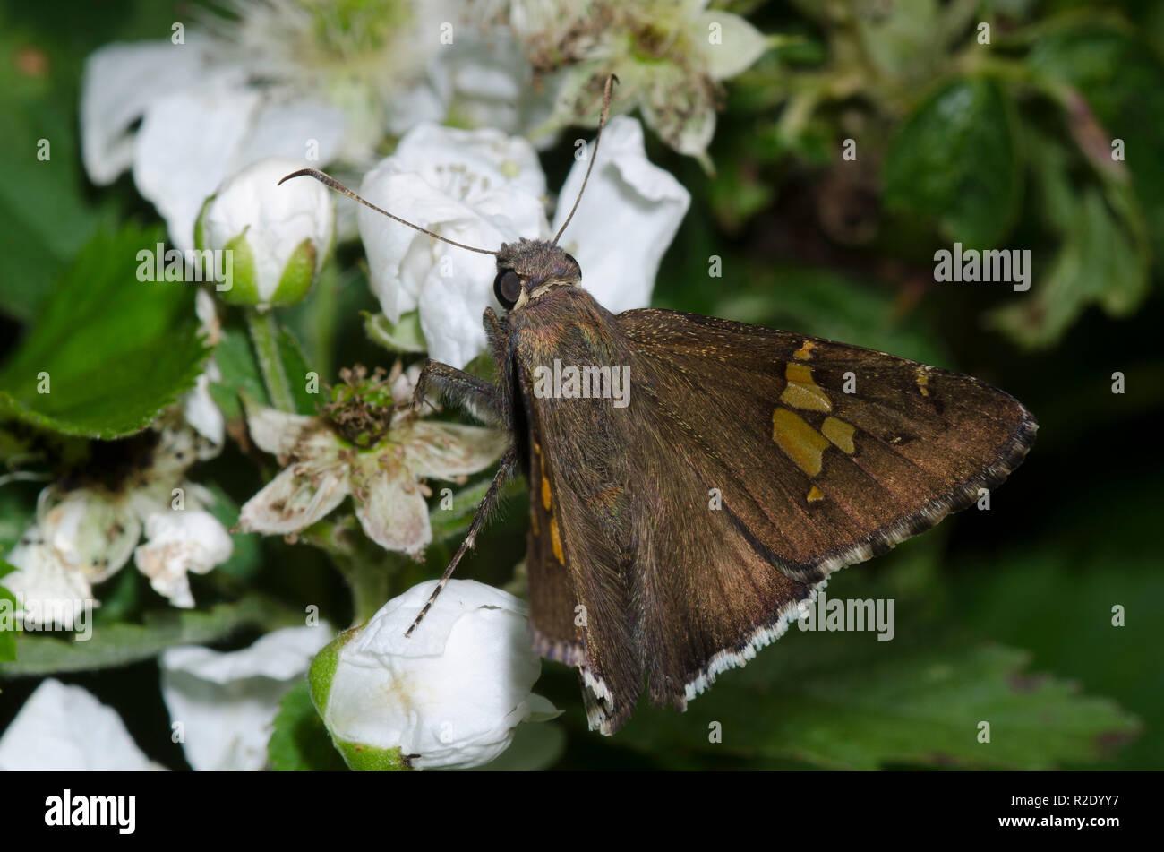 Edge, canoso, nectaring Achalarus lyciades de frambuesa, Rubus sp., florece Foto de stock