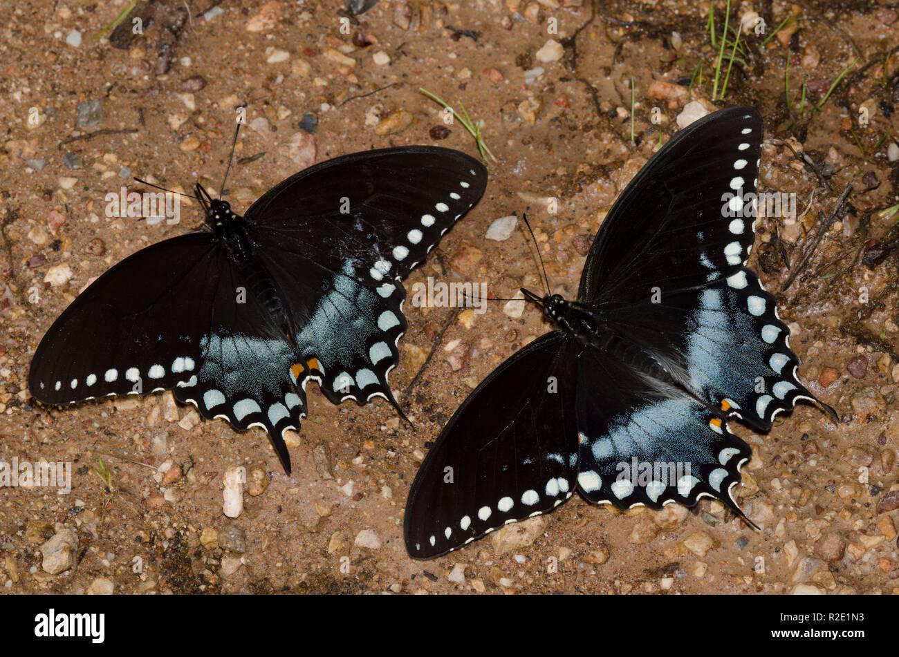 Spicebush Swallowtails, Papilio Troilo, machos en los charcos de barro Foto de stock