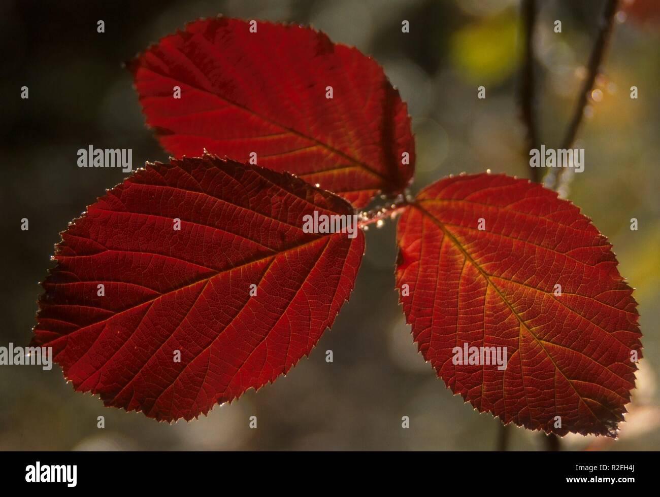 hojas de otoño Foto de stock